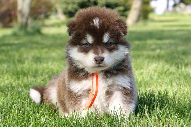 Most Inspiring Wolf Chubby Adorable Dog - 6516384b2c05a040ccb2194d80667a5f  Pic_708275  .jpg