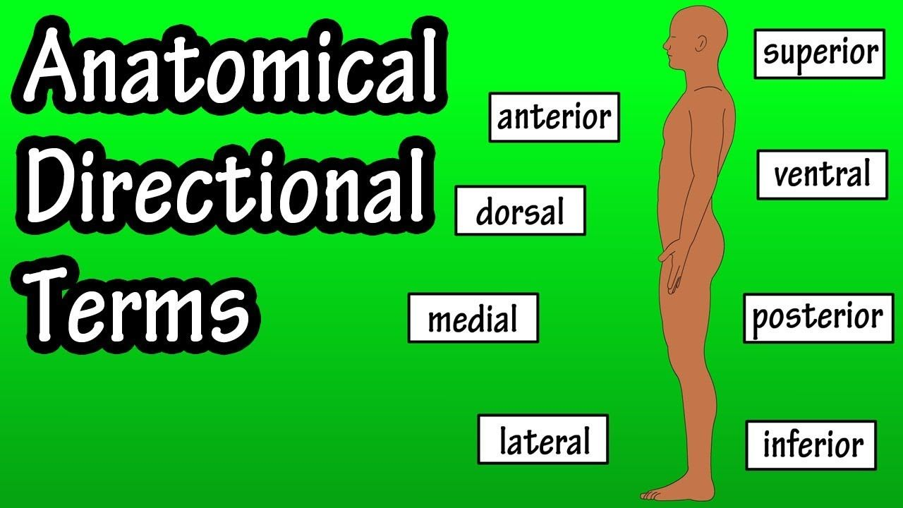 Anatomical Position And Directional Terms Anatomical Terms Direction Anatomy Anatomical Health Knowledge