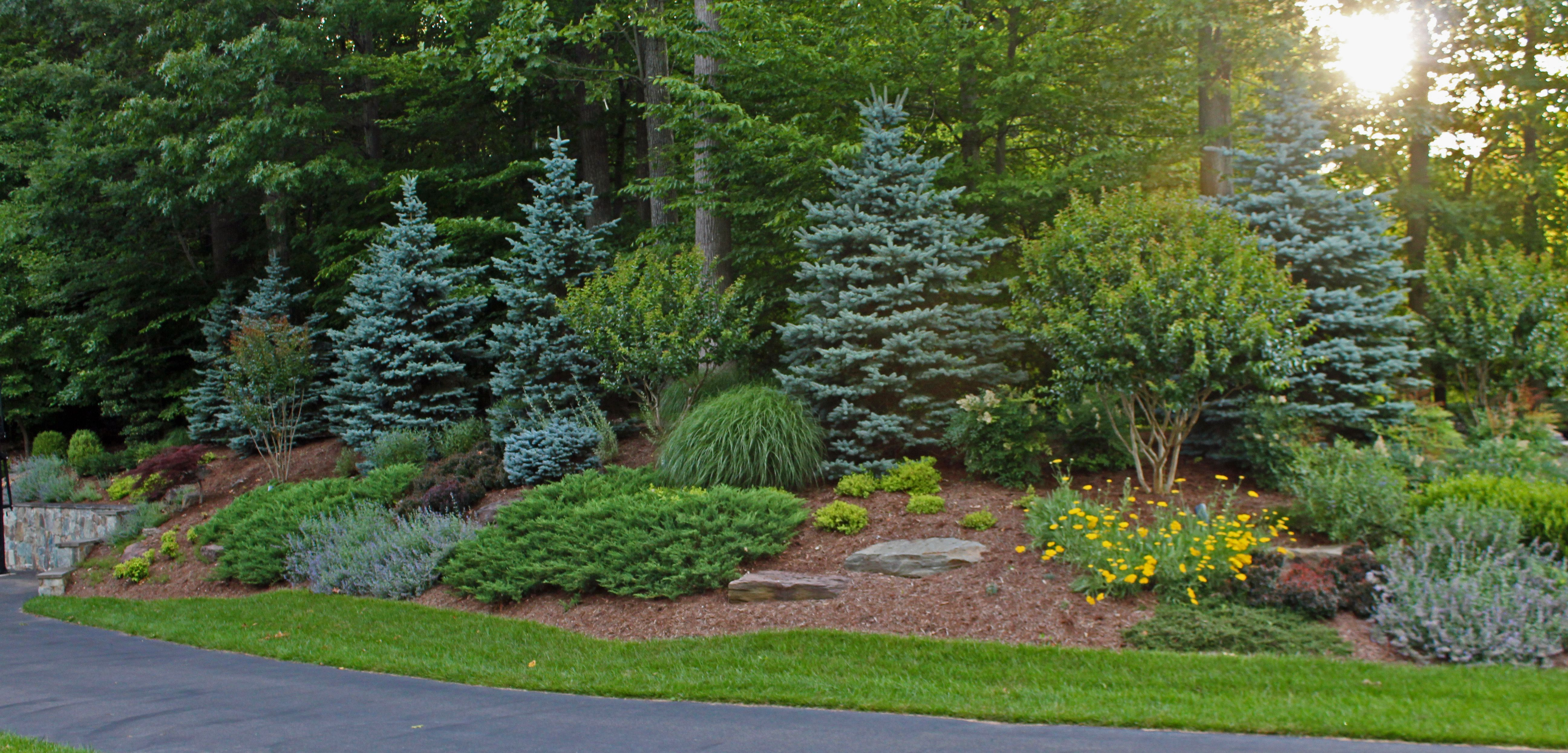 chantilly evergreen planting design | Evergreen landscape