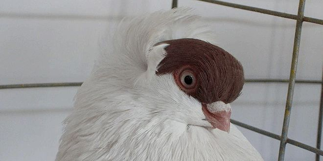 حمام الهلمت Faced Crested Helmet Bird Birds Animals