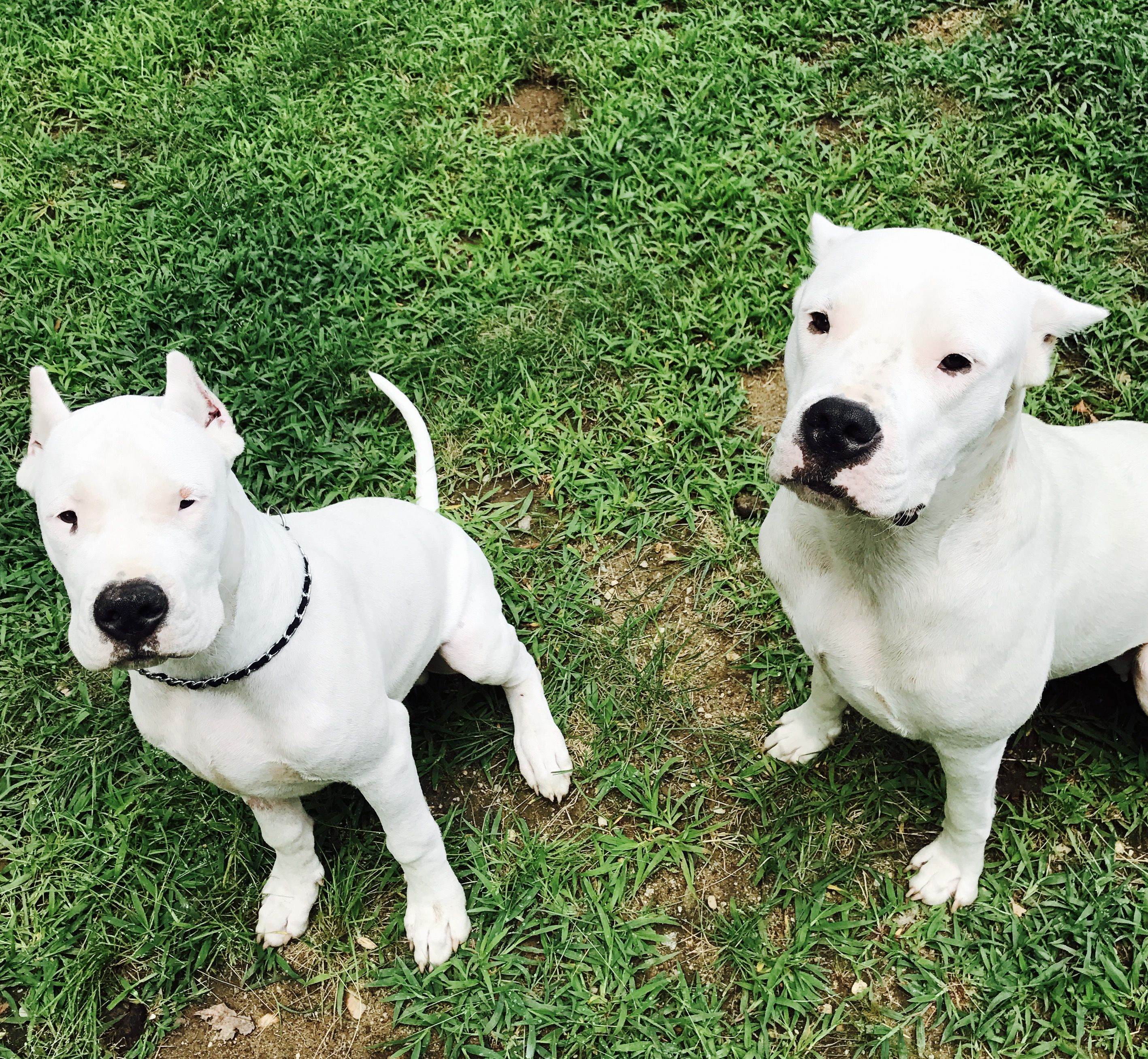 Pin By Stephanie Britt On Dogo Argentino Dogs Animals And Pets Mans Best Friend