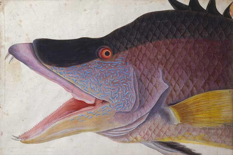 The Natural History of Carolina, Florida and the Bahama Islands, Mark Catesby (1682-1749) Antique naturalist fish illustration.