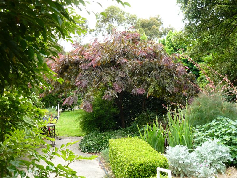 Ornamental trees ruby lace honey locust gleditsia ruby for Hardy flowering trees