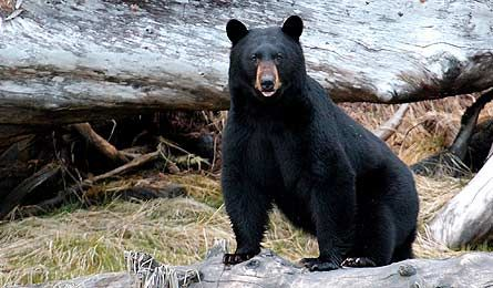 Learn To Survive A Bear Attack Bear Attack Outdoors Adventure Camping Experience