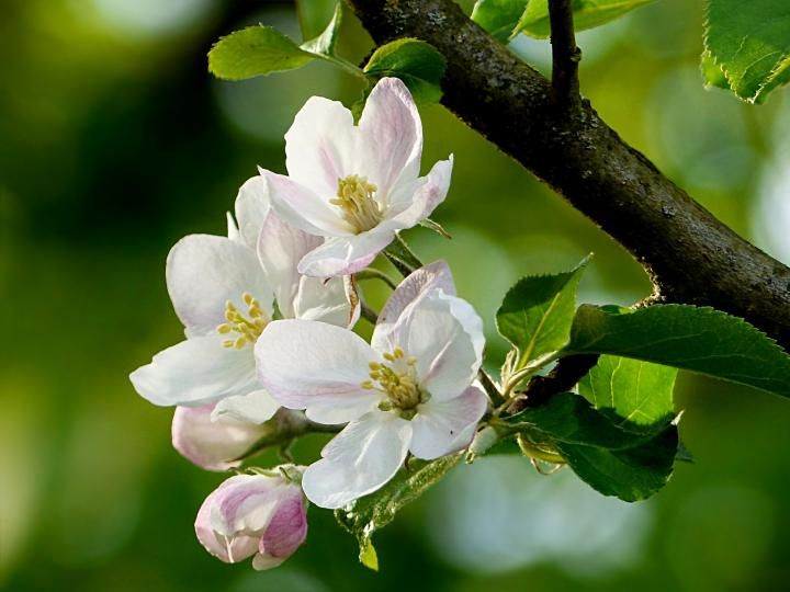 Growing organic apples with fruit bagging apple blossom