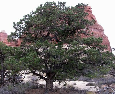 Pinon Tree Is Considered Sacred As It Has Been A Vital