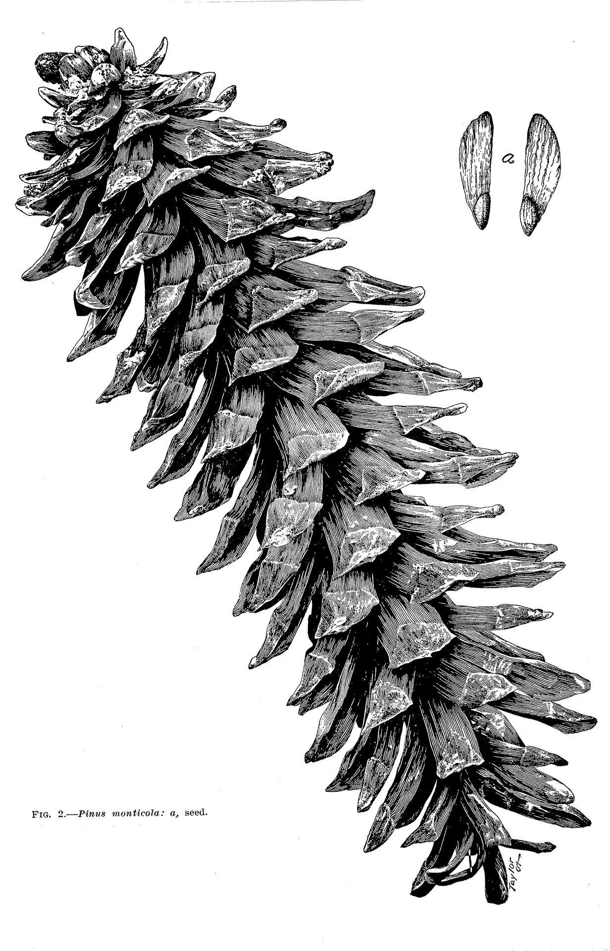 Pine Cone Illustration Pine Cone, Pinus Monti...
