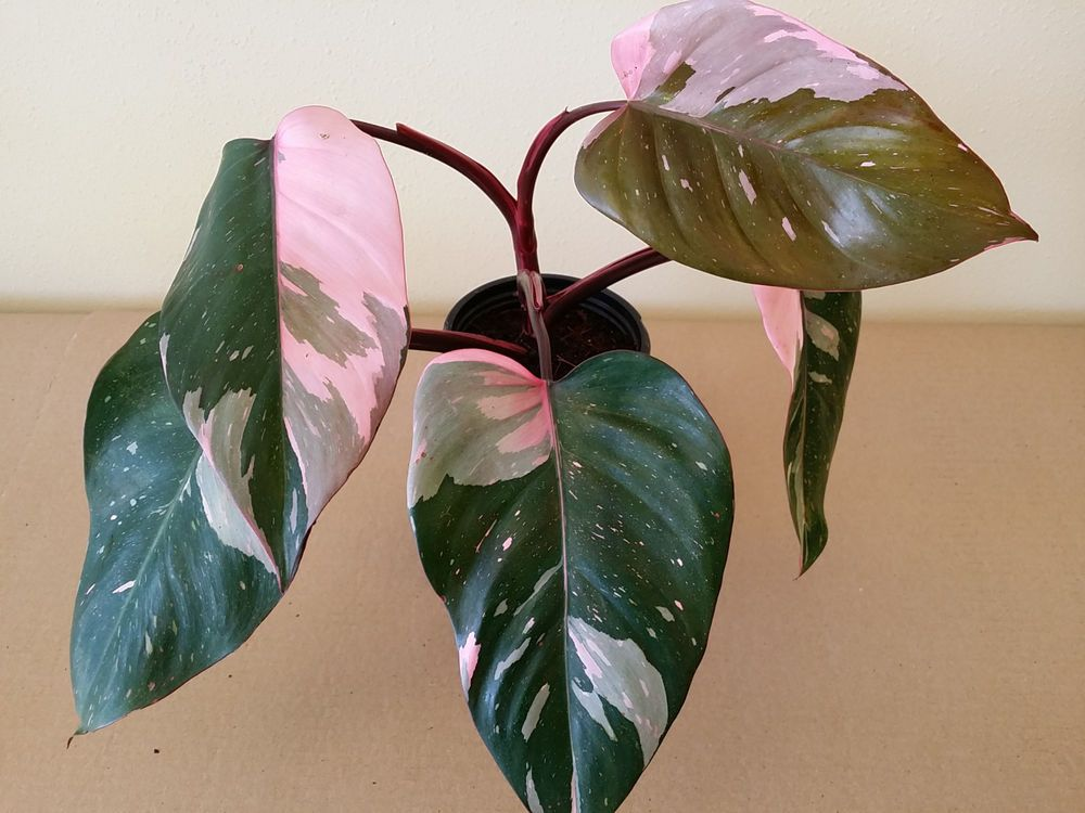 philodendron pink princess rare pink variegated aroid nice one dark red pink pink princess. Black Bedroom Furniture Sets. Home Design Ideas