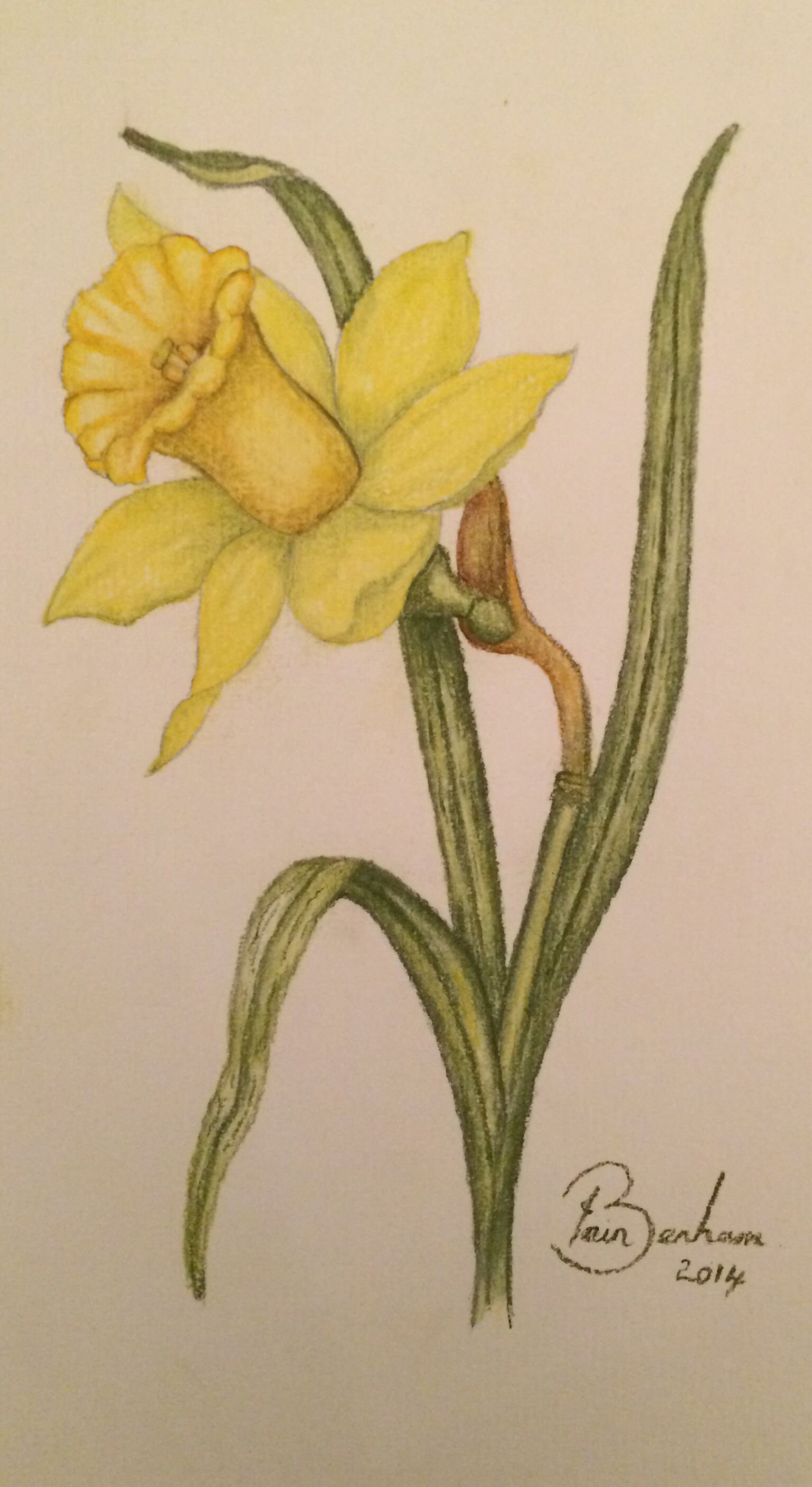 Pastel pencil drawing of a daffodil flower hand crafted