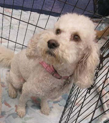 Adopt Ginger On Poodle Mix Dogs Cockapoo Poodle Mix