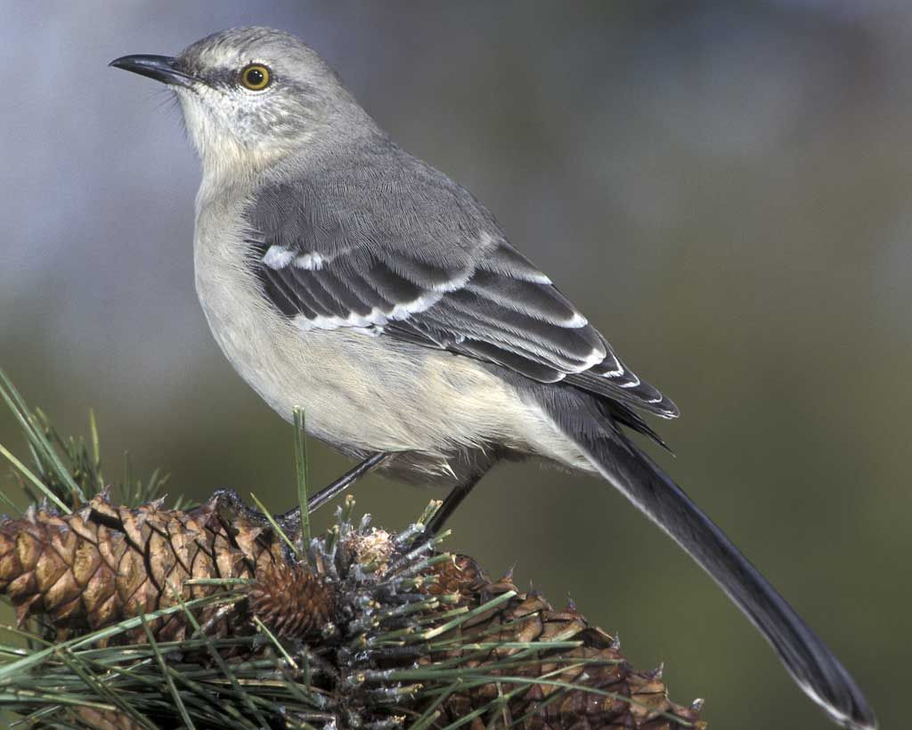 northern mockingbird birds in my backyard pinterest bird