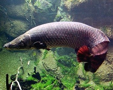.Arapaima gigas one of the most fascinating fish ever to breathe air (that's right) on this planet.