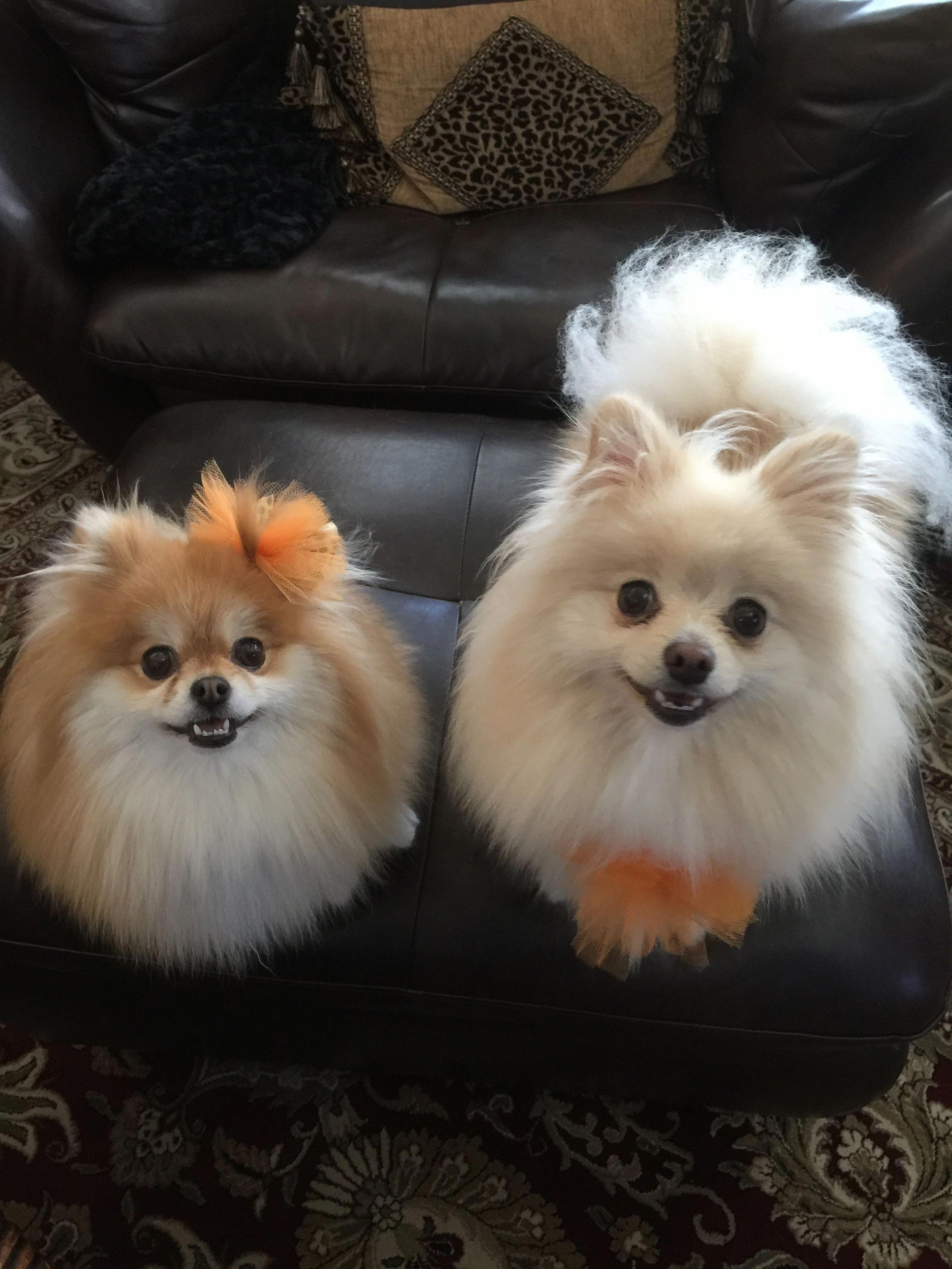 Fonzie: Pomeranian puppy for sale near Nebraska