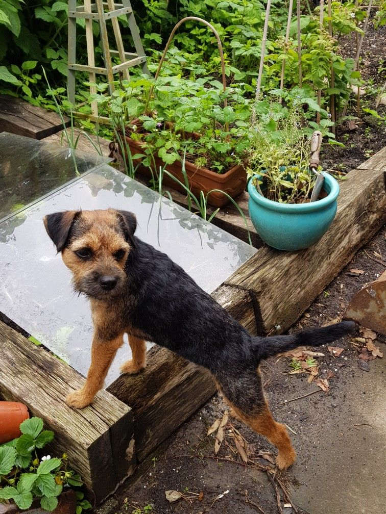 Pin By Maucha On Border Terrier All Breeds Of Dogs Brown Dog