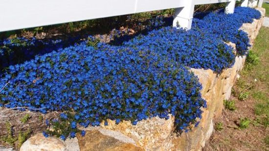 One of the most beautiful and decorative coverings perennial garden one of the most beautiful and decorative coverings perennial garden is lithodora diffusa heavenly blue mightylinksfo