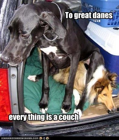 14 Pictures Of Great Danes That Only Great Dane Lovers Will