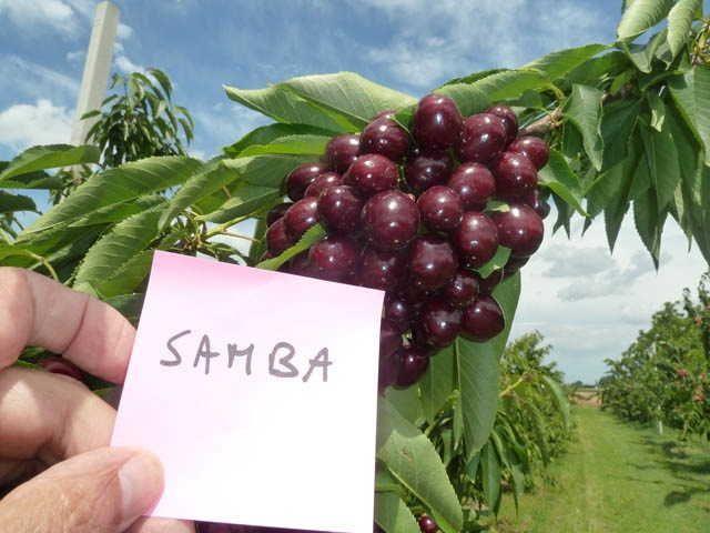 Ciliegio SAMBA® Sumste* :: Prodotti :: Vivai Zanzi
