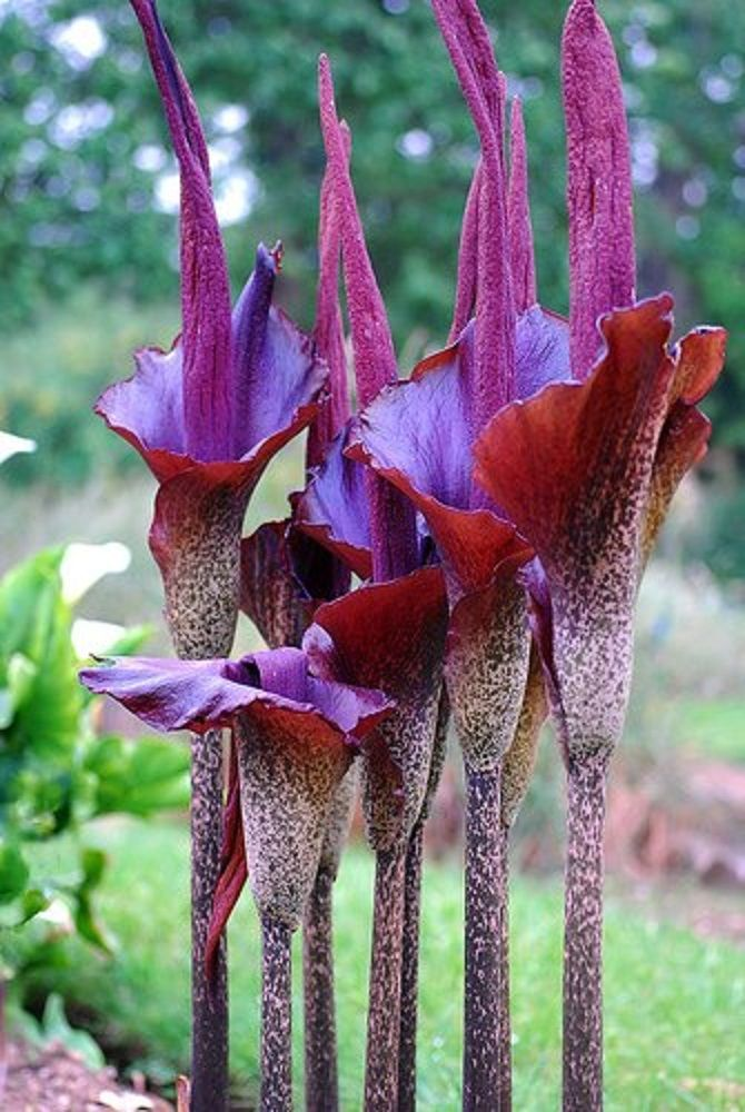 Amorphophallus konjac aka Konjac Voodoo Lily. Grows in Part Sun to Light Shade. Flower Color is Purple/Lavender and blooms in Spring. Hardiness zone 6a, 6b, 7a, 7b, 8a, 8b, 9a, 9b, 10a, 10b. Characteristics: Culinary Plants, Deer Resistant Plants, Dry Shade Plants, Fragrant Flowers, Pollinator Plants, Ornamental Seed or Fruit, Plants from China, Plants from Japan, Tropical Looking Plants, Aroids, Corms - Bulbs - Tubers,  --- Amorphophallus konjac, buy Amorphophallus konjac for sale from Plant Delights Nursery, award-winning mail order perennial plants on-line; buy Voodoo Lily, Konjac Voodoo Lily for sale, buy Amorphophallus for sale, buy perennial plants for sale, woodland shade garden perennials