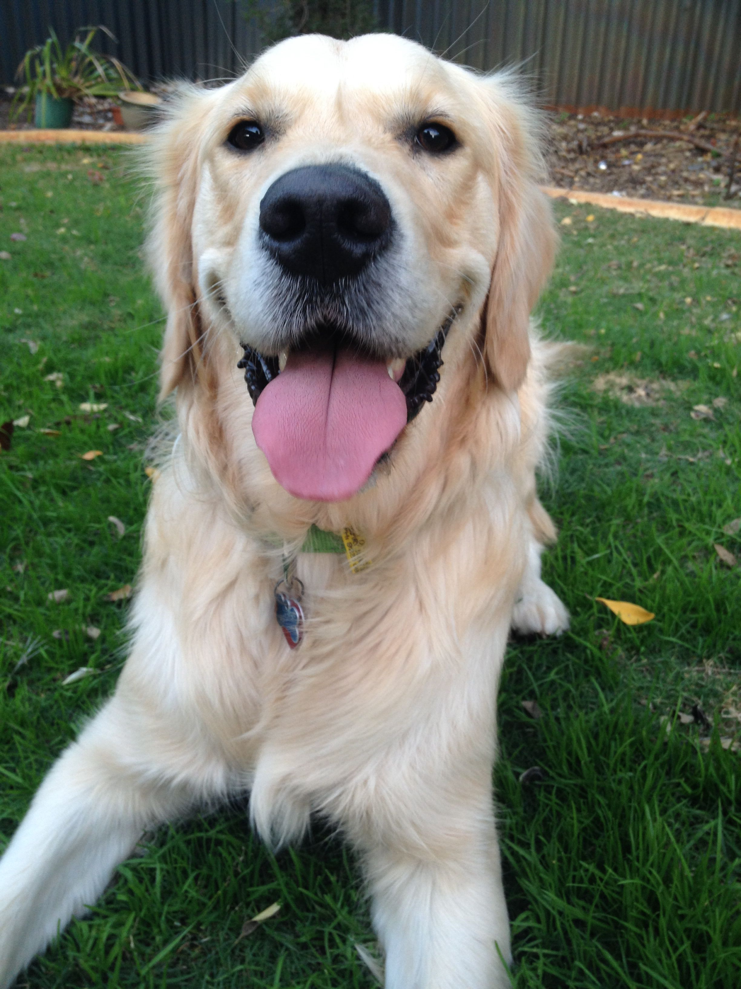 Golden Retriever Golden Retriever Golden Retriever Puppy Animals And Pets