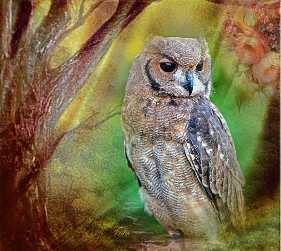 'Bundi' Grau-Uhu / Sprenkeluhu / Wellenuhu - Greyish Eagle-owl / Vermiculated…