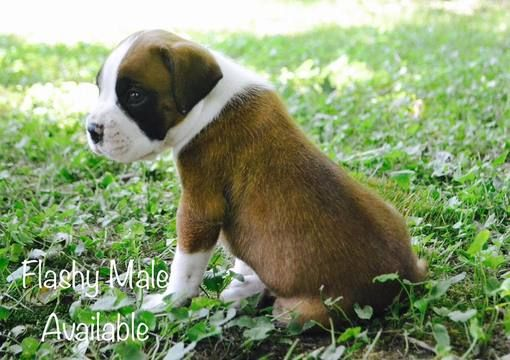 Litter Of 3 Boxer Puppies For Sale In Watertown Ny Adn 40133 On