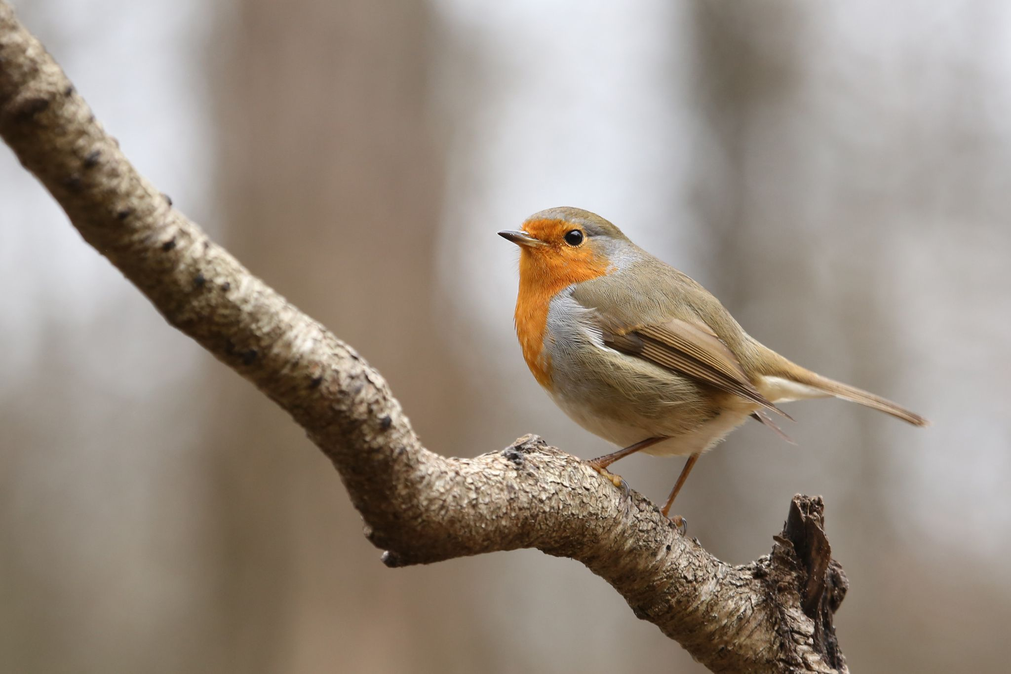 European Robin - European Robin, Erithacus rubecula