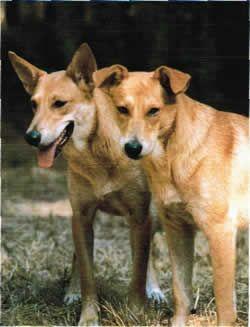 Carolina Dog With Images Carolina Dog Marley Dog Dog Breeds