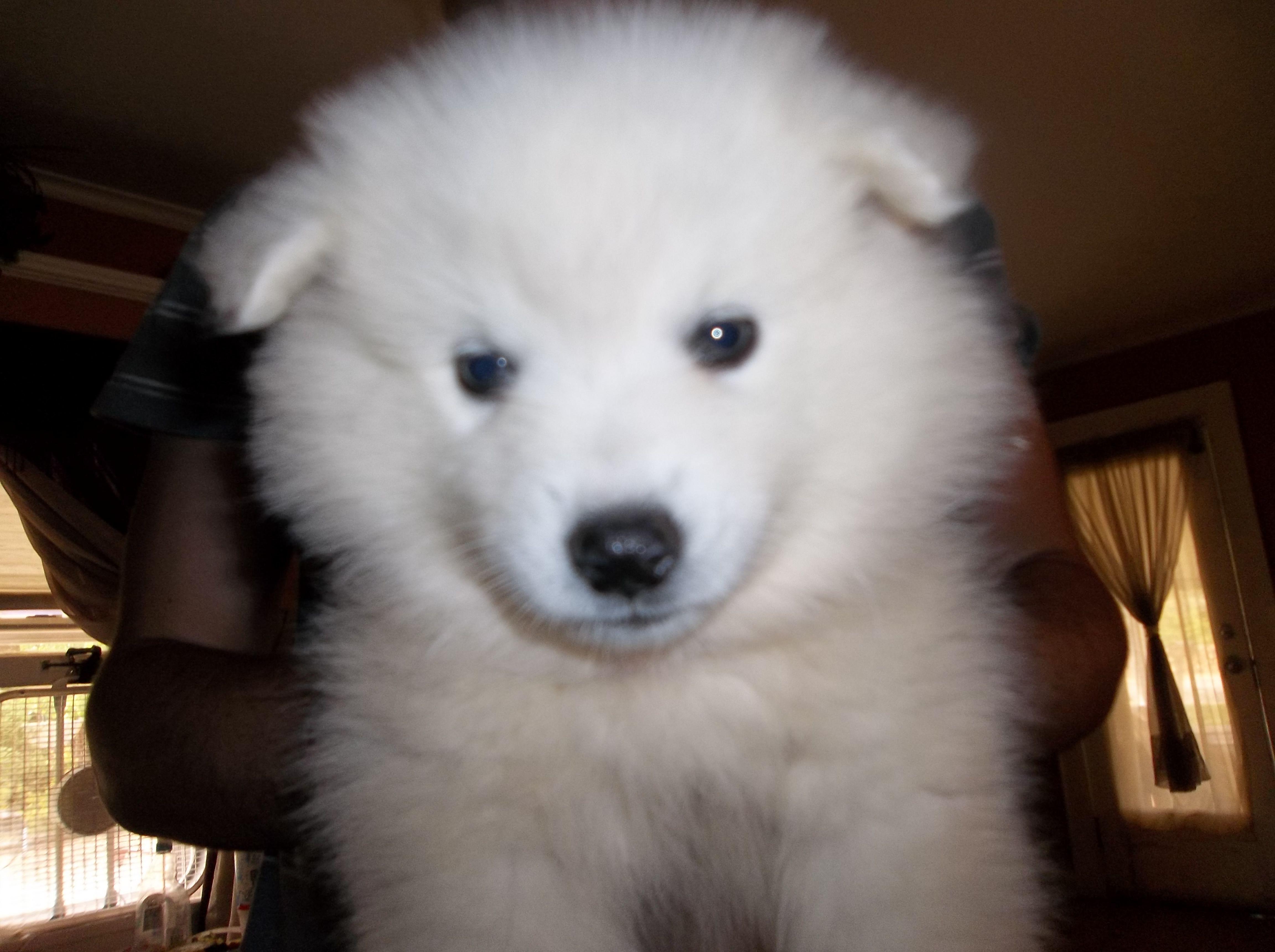 American eskimo puppy american eskimo dogs pinterest american