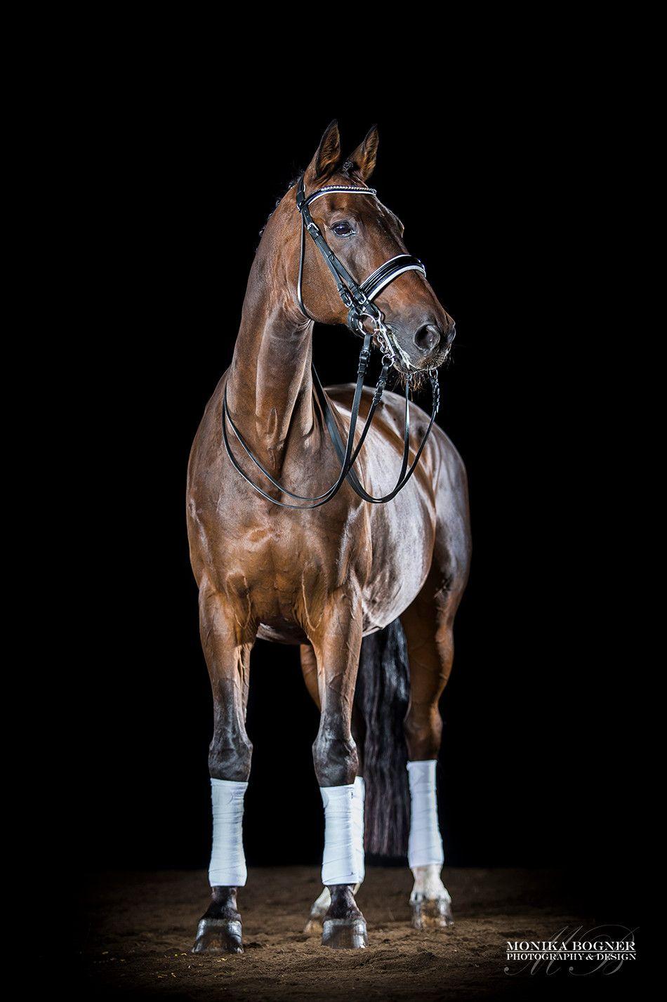Beliebt Bevorzugt Pferde im Studio - professionelle Fotos vor schwarzem Hintergrund @NB_69