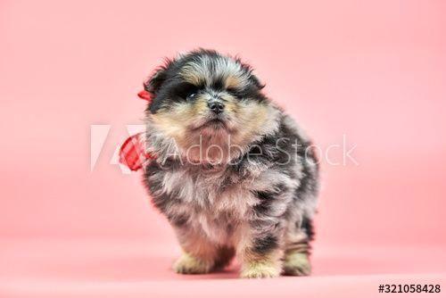 #Aff,  #Spitz,  #Pomeranian,  #puppy,  #background,  #pink  #Ad #Spitz #puppy Pomeranian Spitz puppy on pink background ,