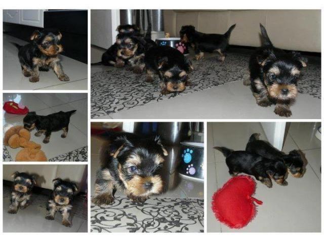 Teacup Yorkie Puppies Pretoria Tshwane Puppies For Sale Teacup Yorkie Puppy Yorkie Puppy Puppies