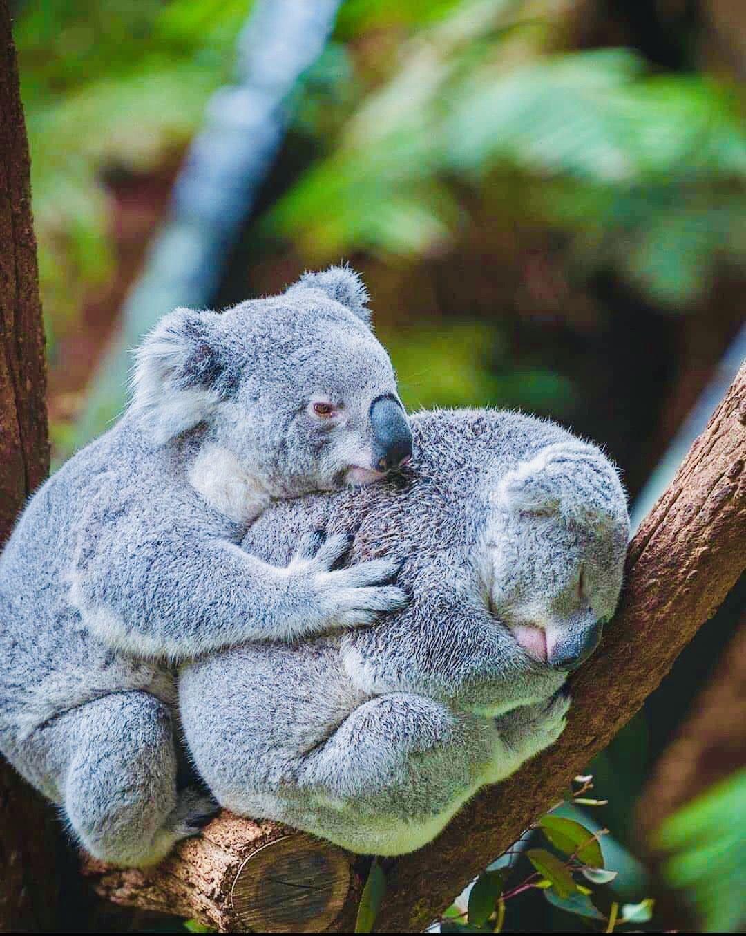 in 2020 | Koala, Koala bear, Cute animals - photo#23