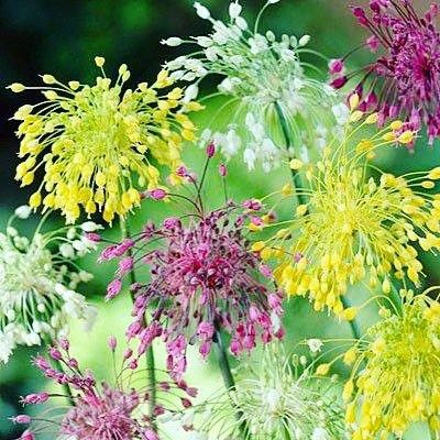 #Beautiful Firework Alliums for #autism! Thank you to Veseys Seeds Ltd. for choosing to benefit autism. Until #October 14th 50% of every firework allium sale will be going towards #AutismCanada. Buy yours today: http://bit.ly/1LiTiQd
