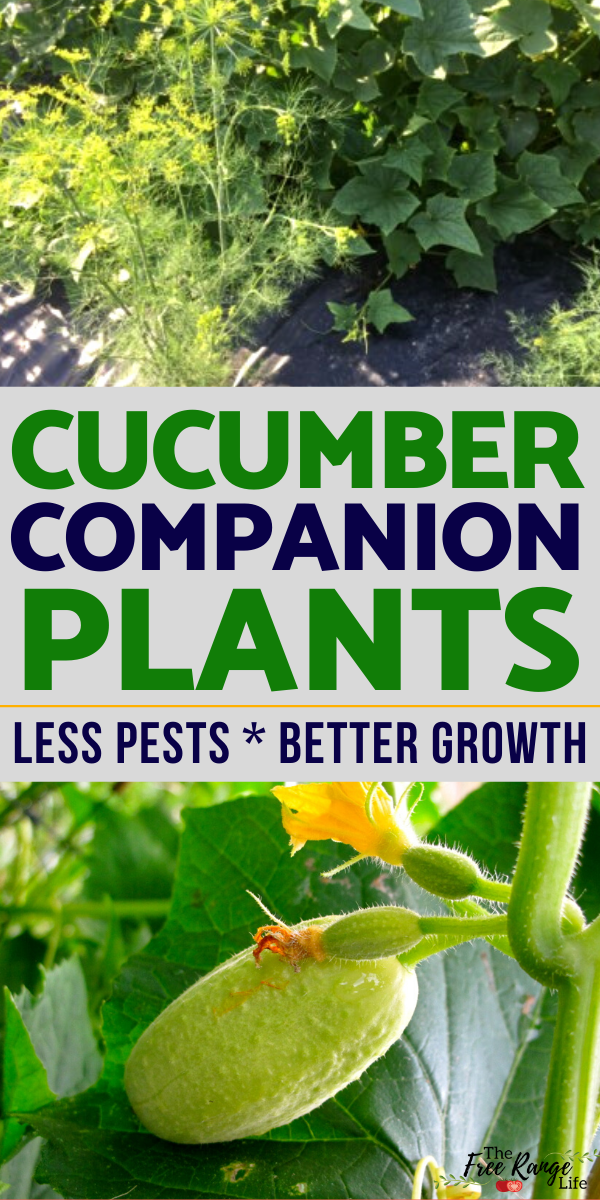 The Best Companion Plants for Cucumbers in the Vegetable Garden -   13 planting healthy ideas