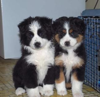 Google Image Result For Http Www Battlecreekpuppies Com Sitebuilder Images Ze Aussie Puppies Australian Puppies Australian Shepherd Puppies
