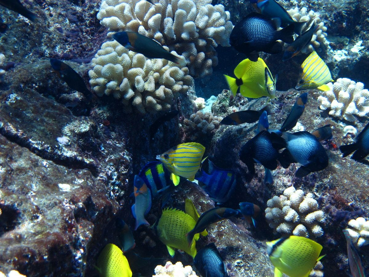 Reef fish molokai hawaii molokai pinterest for Molokai fish and dive