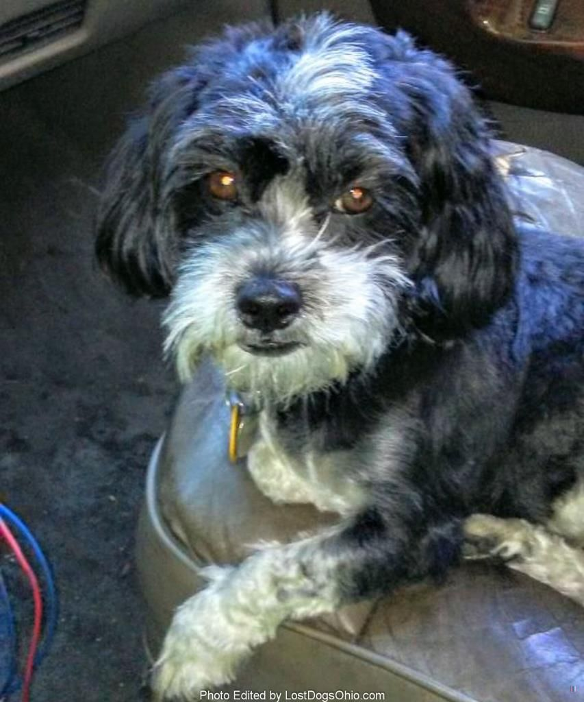 Pin By Lost Dogs Ohio On Lost And Found Dogs Losing A Dog Havanese