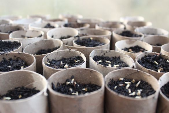 Toilet rolls used as seed trays