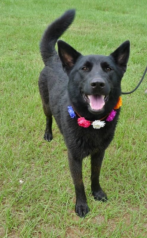 Adopt Luna On Animals And Pets German Shepherd Dogs Pets