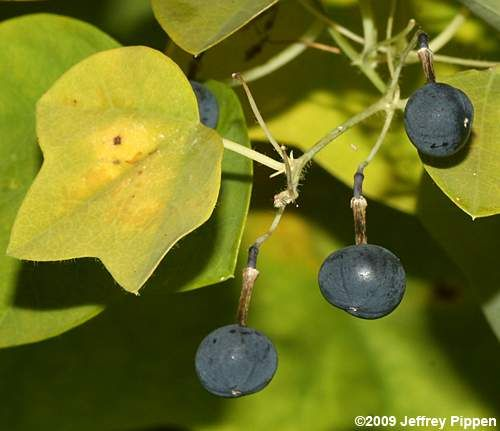 Yellow Passionflower Passiflora Lutea Fruits Are Blue Black Berries That Are Much Smaller Than Maypops Passiflora Passion Flower Fruit