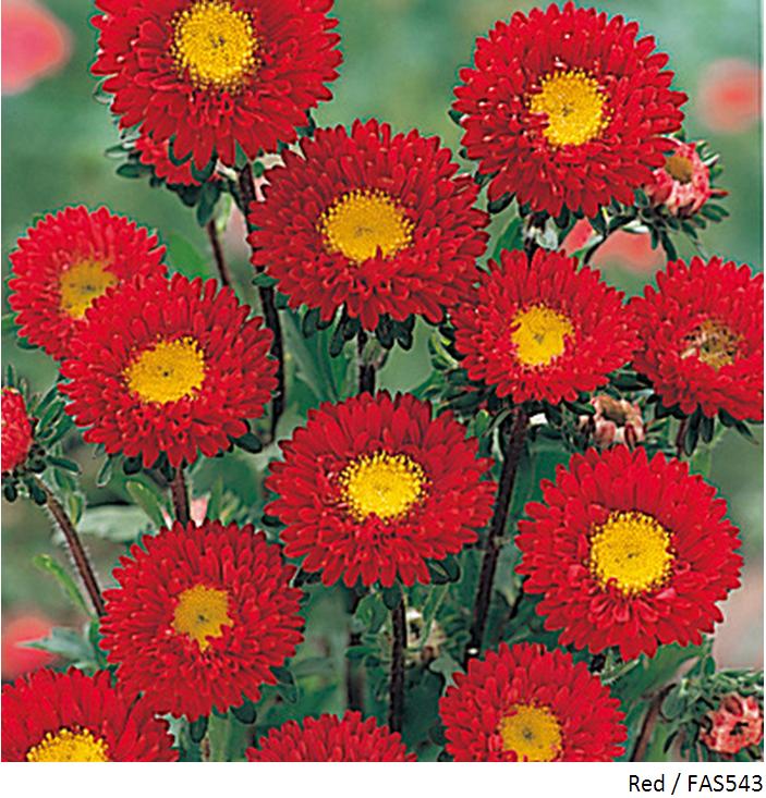 Gerbera Flower Seeds Online India Flower Seeds Chrysanthemum Seeds