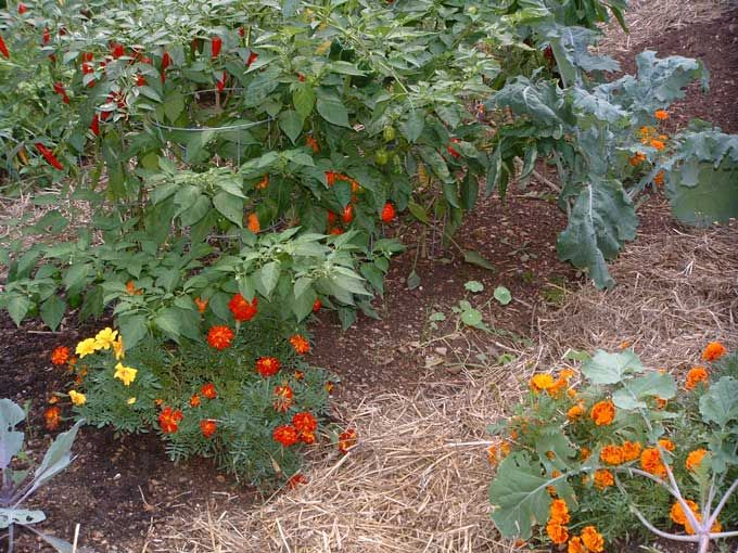 images of marigolds in the garden   damage in the garden if you choose marigolds for your garden they must ...
