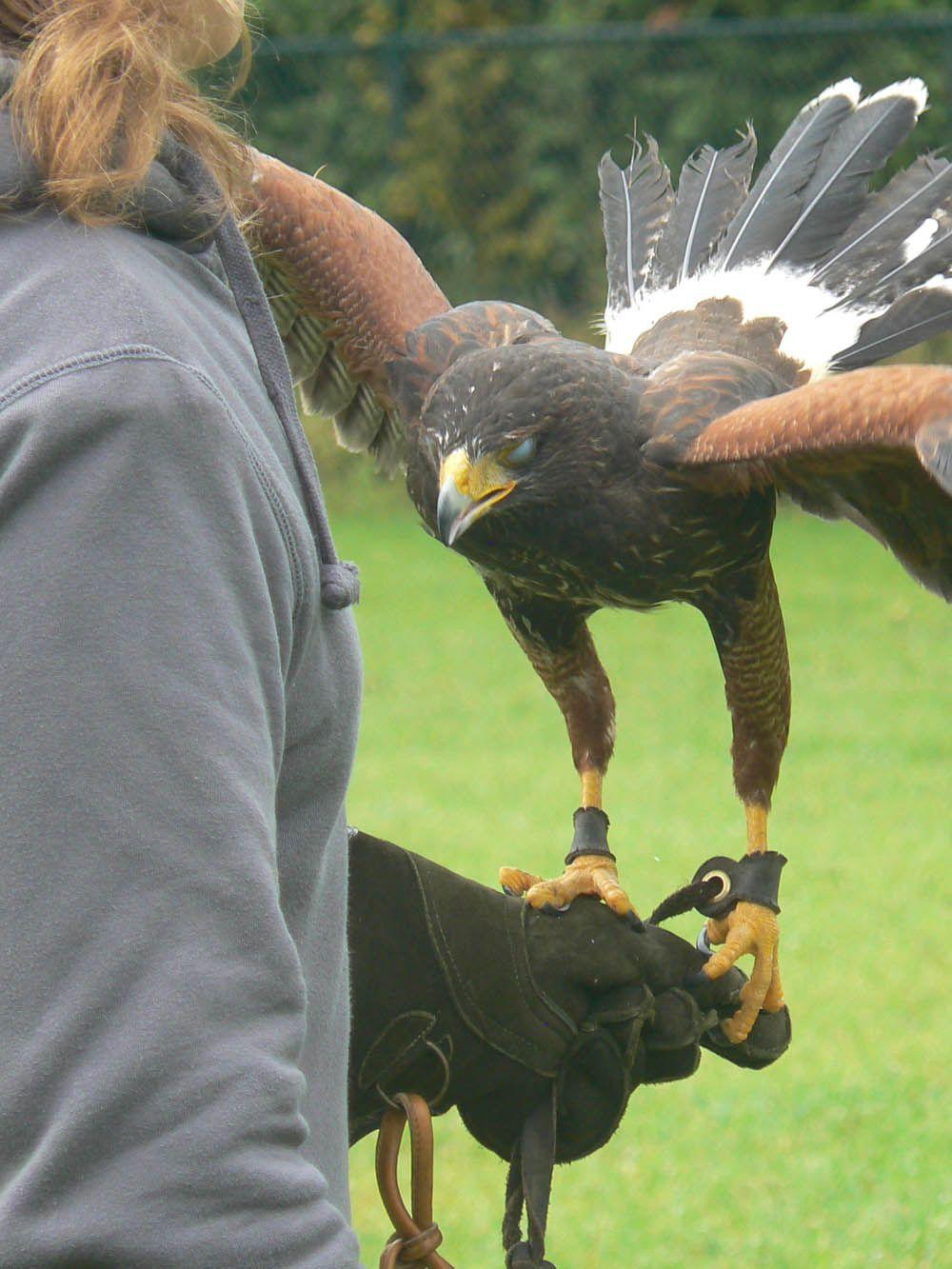 Falconry Training メラニズム アルビノ 鳥