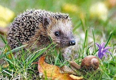 S for Snail: hedgehog