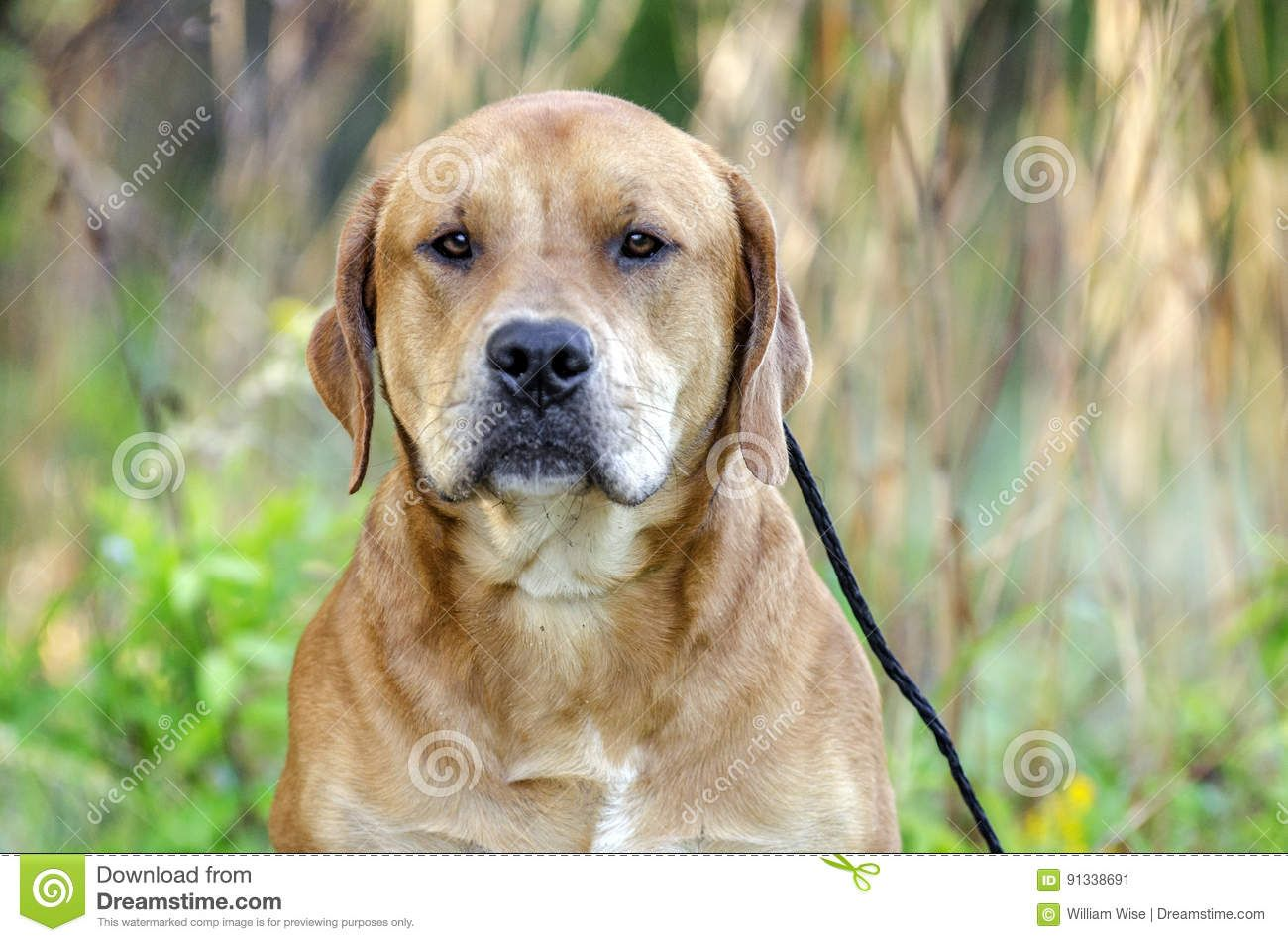Cute Golden Retriever Mastiff Mix In 2020 Mastiff Mix Dog Stock