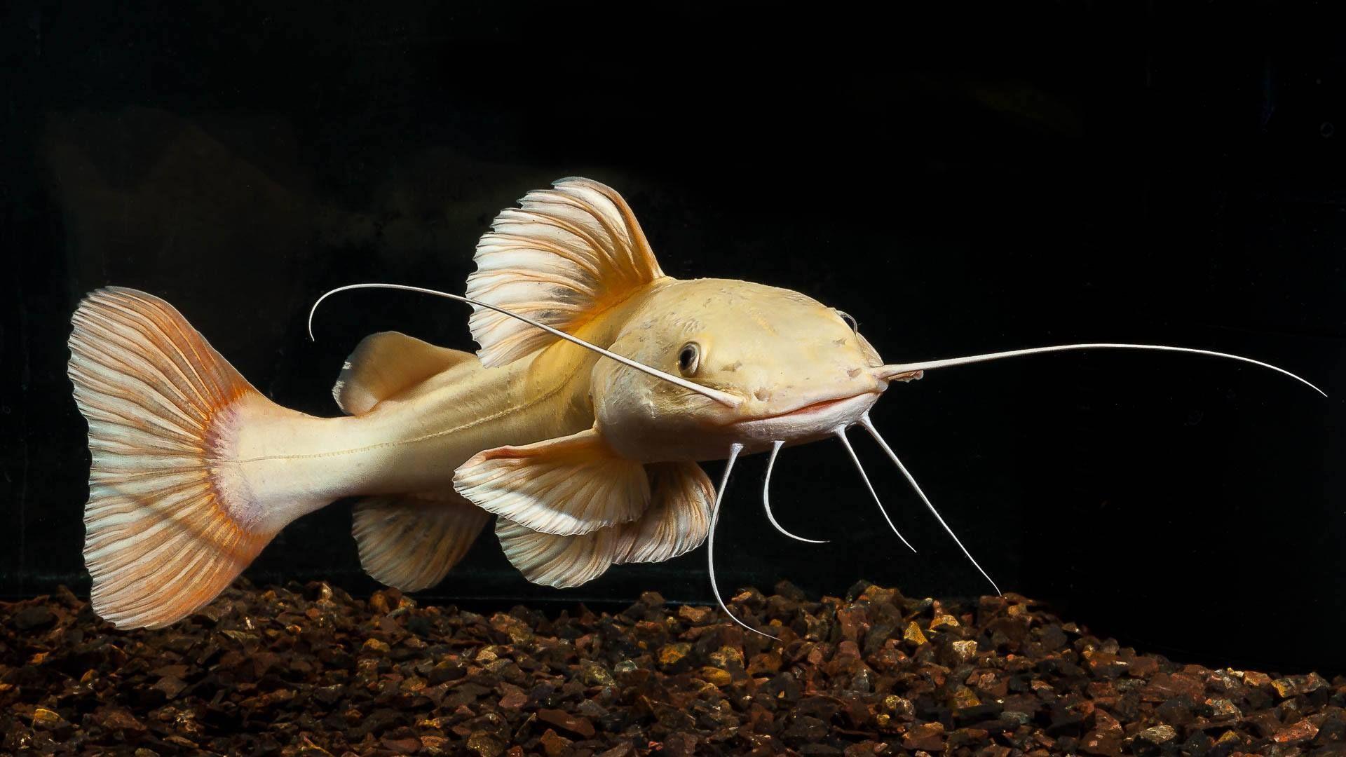 Albino Red Tail Catfish Red Tail Catfish Freshwater Catfish Fresh Water Fish Tank