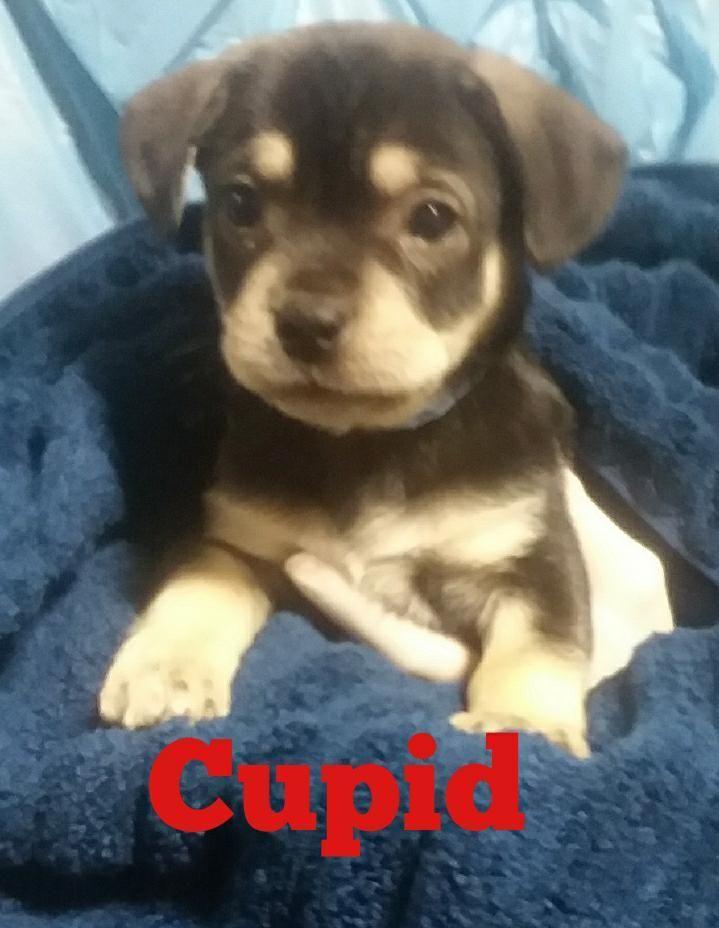 Adopt Cupid On Pets Animal Rescue Labrador Retriever Mix