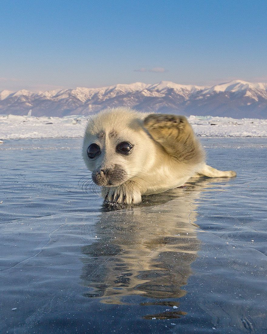Photographer Captures Adorable Photo of Seal Pup Waving to the Camera