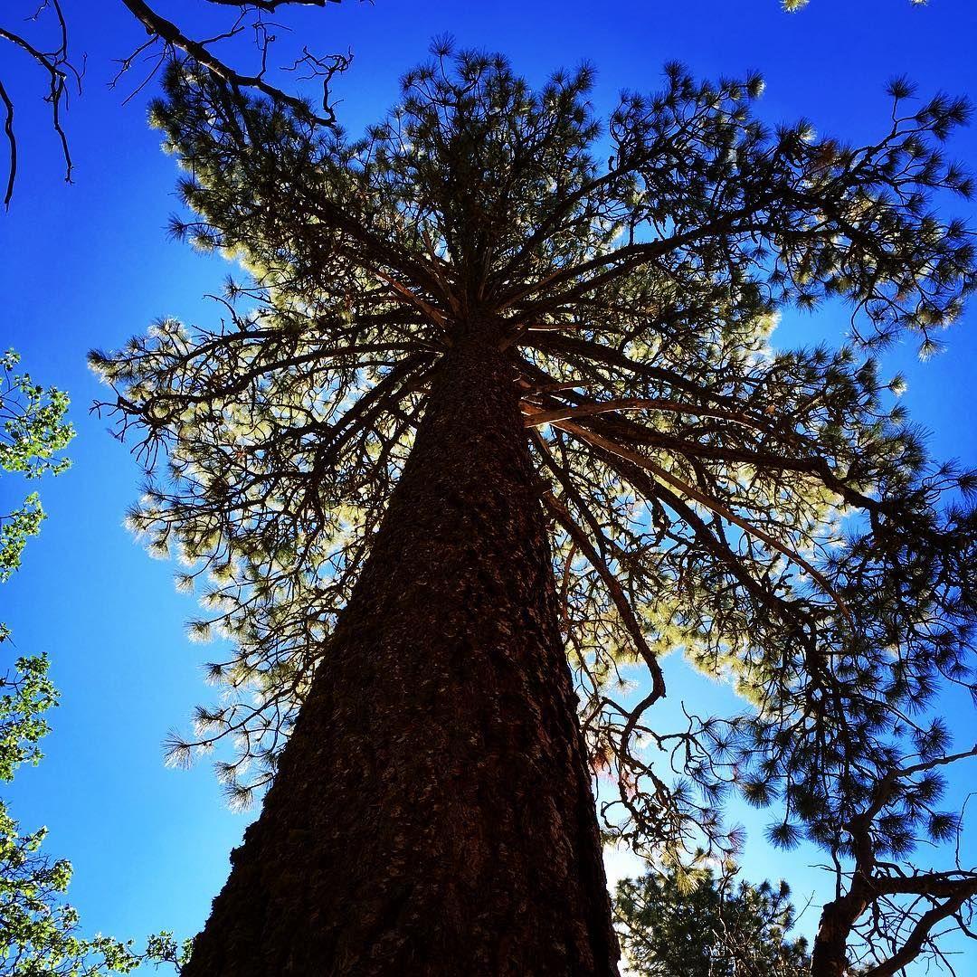 @miz_colleen... Morning hike. #summer #trees #ponderosa # ...