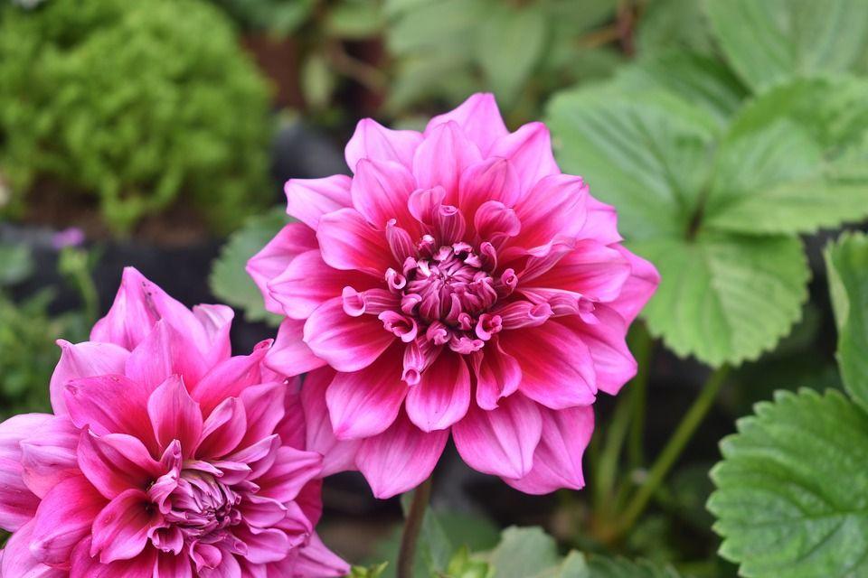image gratuite sur pixabay - fleur, fleur de dahlia, rose   fleurs